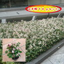 緑の空(SORA)で買える「ハツユキカズラ 9.0cmポット 10pセット/苗」の画像です。価格は3,000円になります。