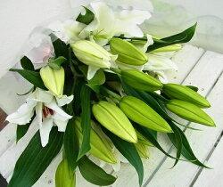 シンプルに大輪白百合の花束花の数は約20輪《本数3〜6本》でお届けします10P15Jan10セール