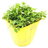 【レビュー特典あり】クラピアK79cmポット苗40鉢セット完全植栽マニュアル付き新品種白色雑草対策グランドカバーK5より耐病性が優れる