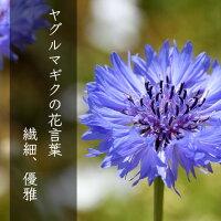 ヤグルマギクの花言葉・・・繊細、優雅