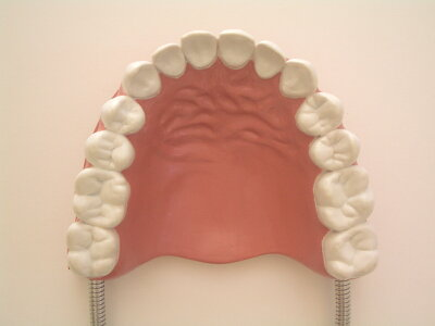 デンタルモデル・歯科模型・歯のおもちゃ・英語発音指導教具