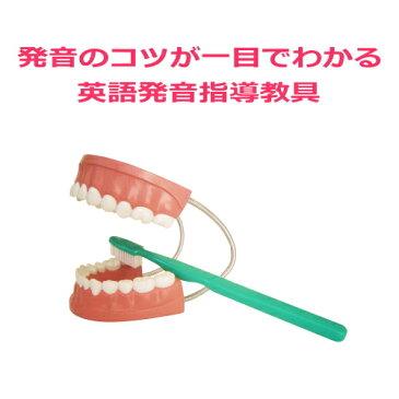 【送料無料】楽天ランキング2部門1位!【デンタルモデル大型歯ブラシ付】歯磨き指導用歯科模型。歯の模型。歯おもちゃ。歯型。大きい英語発音指導教材教具。韓国語、中国語、フランス語発音指導におすすめ!