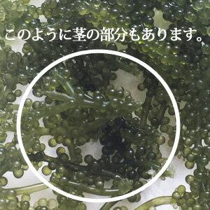 【おうち飲みに!】一軍になれなかった海ぶどう500g(専用タレ付き)海ぶどうグルメお取り寄せ海ブドウ沖縄お土産増量訳あり