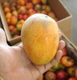 再々再追加中です2021業務用マンゴー業務用(加工用)アップルマンゴー1kgこれはマンゴー版ロシアンルーレットだぁ!訳あり マンゴー 家庭 自宅