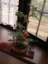 盆栽:緋ネム盆栽