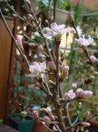 年始の贈り物に春を感じる切花の桜敬翁桜自宅でお花見が楽しめます【桜】啓翁桜一本 ギフト お届けは2021年1月9日より