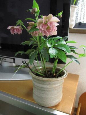 【送料無料】【鉢植え】【クリスマスローズ】ピンク八重