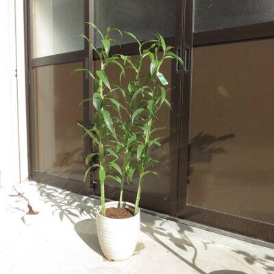母の日ギフト2018年5月末〜6月頃開花の百合ギフトです大輪の花カサブランカ【ユリ】【鉢花】贈り物にカサブランカ蕾の状態です。鉢植のカサブランカ贈り物お届けの際カサブランカは蕾の状態です