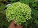 プレゼントにも喜ばれる2019年6月開花アナベルアジサイアジサイ中苗白い球状に咲く アナベル咲始はグリーンから白に咲く アナベル7月以降のお届け時剪定後の状態でお届けとなります