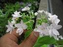 紫陽花墨田の花火 【あじさい】 中苗お届けは 2017年開花の状態でお届けとなります