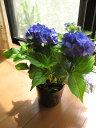 アジサイ マリンブルー苗 今期開花終了しております