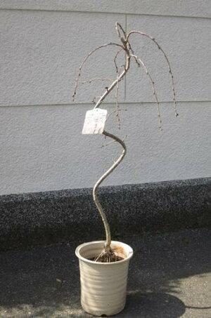 送料無料【八重しだれ桜】八重枝垂れ桜鉢植えおススメ桜のシンボルツリーに桜を信楽鉢入り
