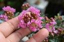 かわいい百日紅鉢植えサルスベリ ピンク 信楽鉢植え 開花は7月〜8月頃 ミニ盆栽 さるすべり鉢植え