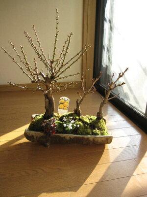 豪華寄せ植え盆栽:大福梅桜花盆栽贈り物盆栽信楽鉢入り福寿草と梅盆栽寄せ植え