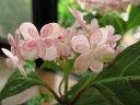 小苗  四国で発見された貴重な品種です。  紫陽花アジサイ羽衣の舞 【あじさい】小苗