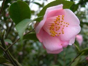 香りを楽しむツバキです桃色 一重咲き 極小輪【庭木】 【ツバキ】椿 風鈴一号