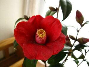 黒赤色、一重咲き、小輪 信楽鉢入り贈り物に椿 【鉢植】 【ツバキ】古典椿 黒侘助椿