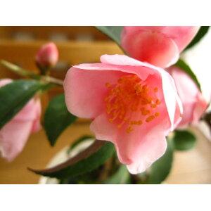 [وعاء Shigaraki] [نبات بوعاء] [كاميليا] رنين ريح الكاميليا رقم 1