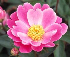 自然の美しさ 芍薬紅桃色、一重咲き、中輪八重姫 芍薬