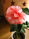 桃色、紅吹掛小絞り、八重咲き、中輪【庭木】 【ツバキ】古典椿 草紙洗椿   接ぎ木苗