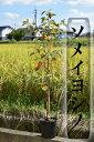 植樹記念樹におすすめソメイヨシノ桜 2019年4月開花苗故郷を桜で美しく桜の苗 【染井吉野桜】庭木桜 ソメイヨシノ染井吉野桜の苗入学・卒業・卒園・誕生などの記念樹にも人気のサクラです