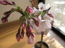 2019年4月開花予定ソメイヨシノ【鉢花】さくら盆栽盆栽 【鉢植】 【桜】 日本の名花 染井吉野桜 鉢植えでは珍しい染井吉野桜です。