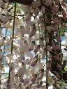開花は 四月〜五月頃です花芽確認苗  花芽確認苗【白野田 藤】白長藤 【藤】大苗  フジ苗