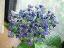 ウズ状の変わりもの 珍種紫陽花ウズアジサイ 【あじさい】小苗