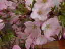 かわいい一重のピンク色の花で 人気のナンバー1の 御殿場桜 庭木用桜の苗【御殿場桜】 【庭...