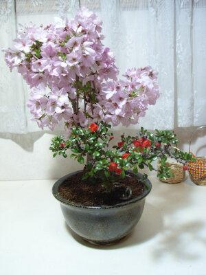 御殿場桜と長寿梅の寄せ植え