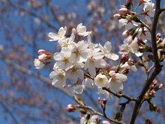 贈り物に 桜鉢植   日本の美しさは桜にあり信楽鉢入り 高さは 約50センチ前後です。【ソ...