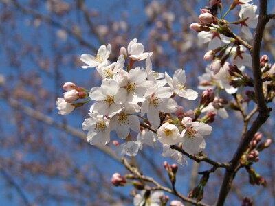 【鉢植】【桜】日本の名花染井吉野
