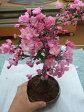 ハナカイドウ桜桜盆栽盆栽:花海棠桜  ハナカイドウ桜盆栽お届けは2017年春開花ま盆栽となります