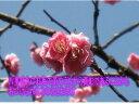 ミニ梅盆栽梅盆栽手作り 信楽鉢入り盆栽: 未開紅梅ミニ梅の盆栽