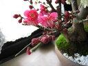 花も綺麗ですがやっばり 梅の甘い天然の香りが最高です。開花予定 二月中頃〜 めでたい 紅白...