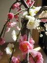 一本の梅の木から紅白に咲く 紅白しだれ梅  お庭に紅白に咲く おめでたい紅白梅2013年開花...