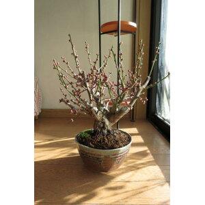 梅盆栽盆栽 白梅盆栽梅盆栽 開花の梅花も香りもすばらしいです。 ちなみに海外でも BONSAI ボンサイと言います。 玄関を彩る梅の花 白梅