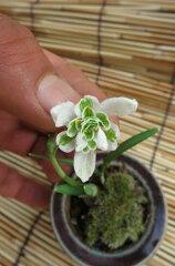 春の花として人気のスノードロップ珍しい八重咲きです。2013年12月中頃より発送 スノードロッ...