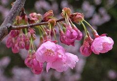 贈り物に桜桜陽光桜桜鉢植