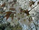桜の葉にはクマリンという芳香を含み、桜餅のこうばしい香りはこのクマリンによるものです山桜...
