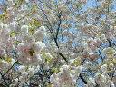 家の庭や玄関に 桜で景色をより美しく  小さな 美化運動は 桜を育てること 常時在庫あり...