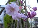 家の庭や玄関に 桜で景色をより美しく  小さな 美化運動は 桜を育てること桜の苗 【仙台...