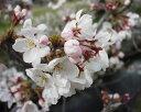 一番人気家の庭や玄関に 桜で景色をより美しく  小さな 美化運動は 桜を育てること 常時...