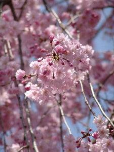 2020年4月中頃開花予定苗桜の苗 ヤエベニサクラ苗八重枝垂れサクラ苗木 【記念日】【お祝い】 八重紅しだれ桜枝垂れ桜苗