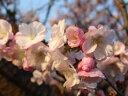 「安行桜」を自宅の庭で育ててみよう!