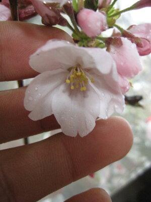 【鉢花】桜盆栽2014年開花予定の染井吉野桜です。【桜盆栽】【鉢植】【桜】日本の名花染井吉野桜鉢植えでは珍しい染井吉野桜です。花鉢