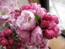 4月頃に開花します寒さに強く春先に咲く大花で八重咲のピンクの花は可憐でとても美しいですよ...