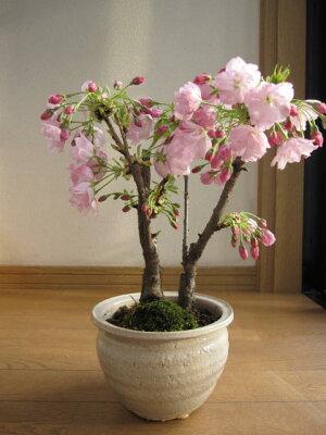 【桜盆栽】こんな感じで咲きます。盆栽:ツイン桜寄せ植え【桜満開】桜盆栽の二本仕立【ぼんさいボンサイ】【さくら盆栽】【楽ギフ_包装】【楽ギフ_メッセ】