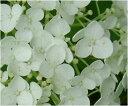 おすすめの アナベル2015年6月開花のアナベル苗ですプレゼントに白いアナベルアジサイ開花苗 ...