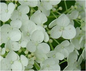 2015年6月開花のアナベル苗ですプレゼントに白いアナベルアジサイ開花苗 とても丈夫で強い品種...